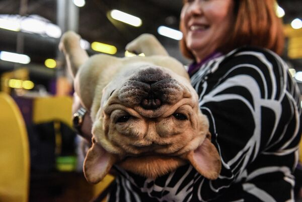 Французский бульдог на ежегодной выставке 2020 Westminster Kennel Club Dog Show в Мэдисон-Сквер-Гарден в Нью-Йорке
