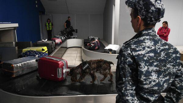 Служебная собака обнюхивает багаж пассажиров, прибывших международными рейсами в аэропорт Толмачево в Новосибирске