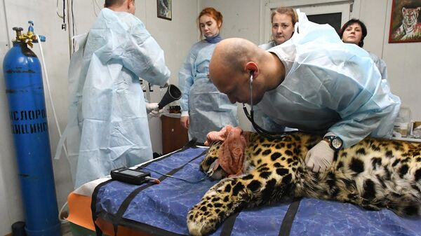 Ветеринарный врач осматривает дальневосточного леопарда Leo 131M Эльбрус в центре реабилитации и реинтродукции тигров и других животных во Владивостоке
