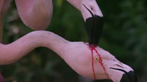 Стоп-кадр видео с изображением процесса кормления птенца фламинго секретом желудочно-кишечного тракта родителей