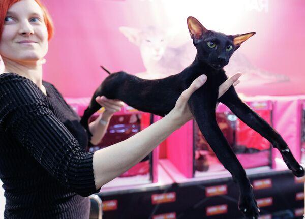 Кошка породы ориентальная на международной выставке Кэтсбург в выставочном центре Крокус Экспо в Красногорске