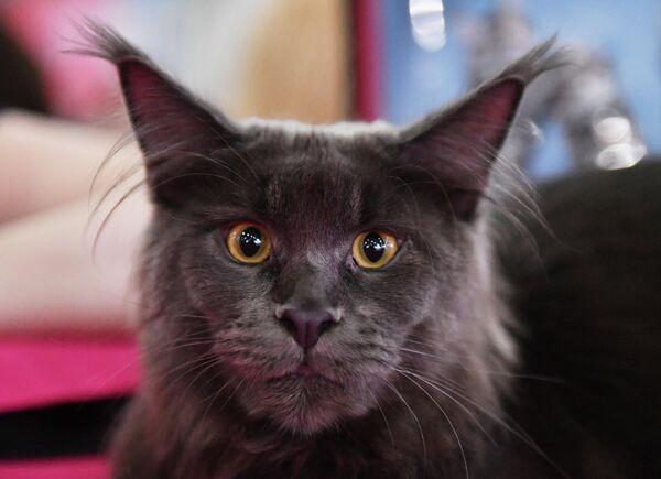 Кошка породы мейн-кун на международной выставке Кэтсбург в выставочном центре Крокус Экспо в Красногорске