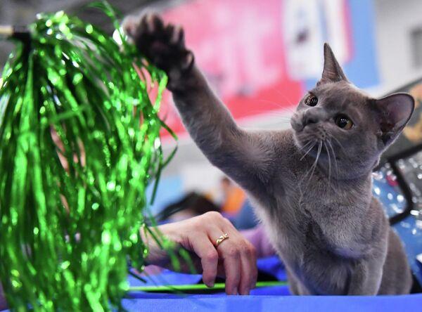 Кошка породы бурманская на международной выставке Кэтсбург в выставочном центре Крокус Экспо в Красногорске