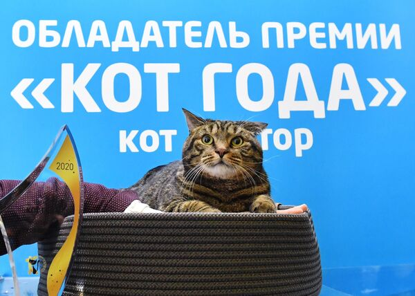 Кот по кличке Виктор, получивший премию Кот года 2020, на международной выставке Кэтсбург в выставочном центре Крокус Экспо в Красногорске