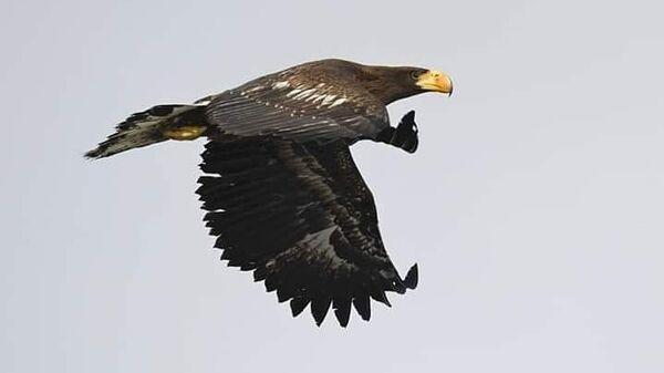 Белоплечий орлан на территории Южно-Камчатского федерального заказника