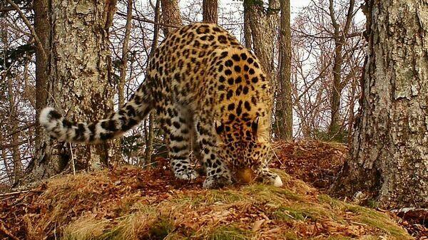 Дальневосточный леопард Leo 103UN