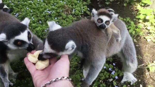 Детеныш кошачьего лемура в Московском зоопарке