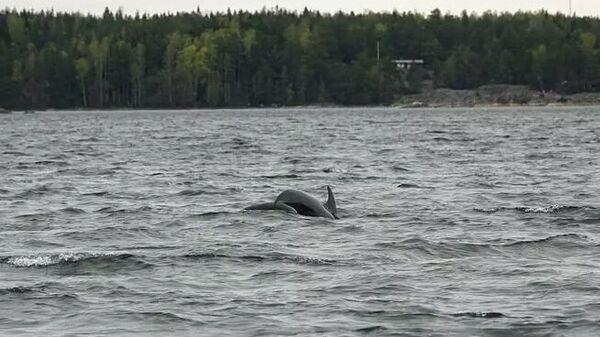 Дельфины вида афалина в водах архипелага Турку в Финляндии