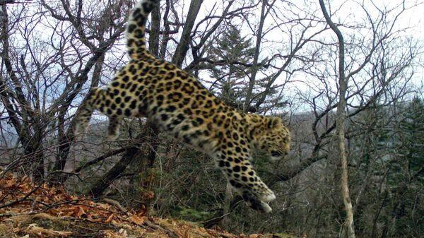 дальневосточный леопард Leo 123F