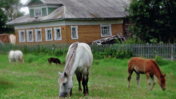Выпас лошадей ранним утром в поморской деревне Нёнокса