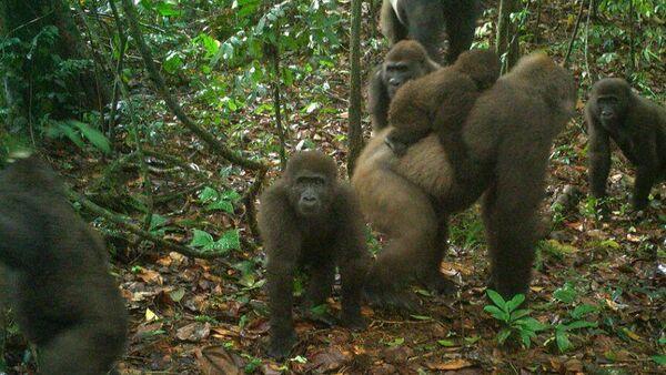 1574104594 0:0:862:486 600x0 80 0 0 58b3cb8855e6aba1cd21d234b12db513 - Специалисты впервые сделали семейные фото редких речных горилл
