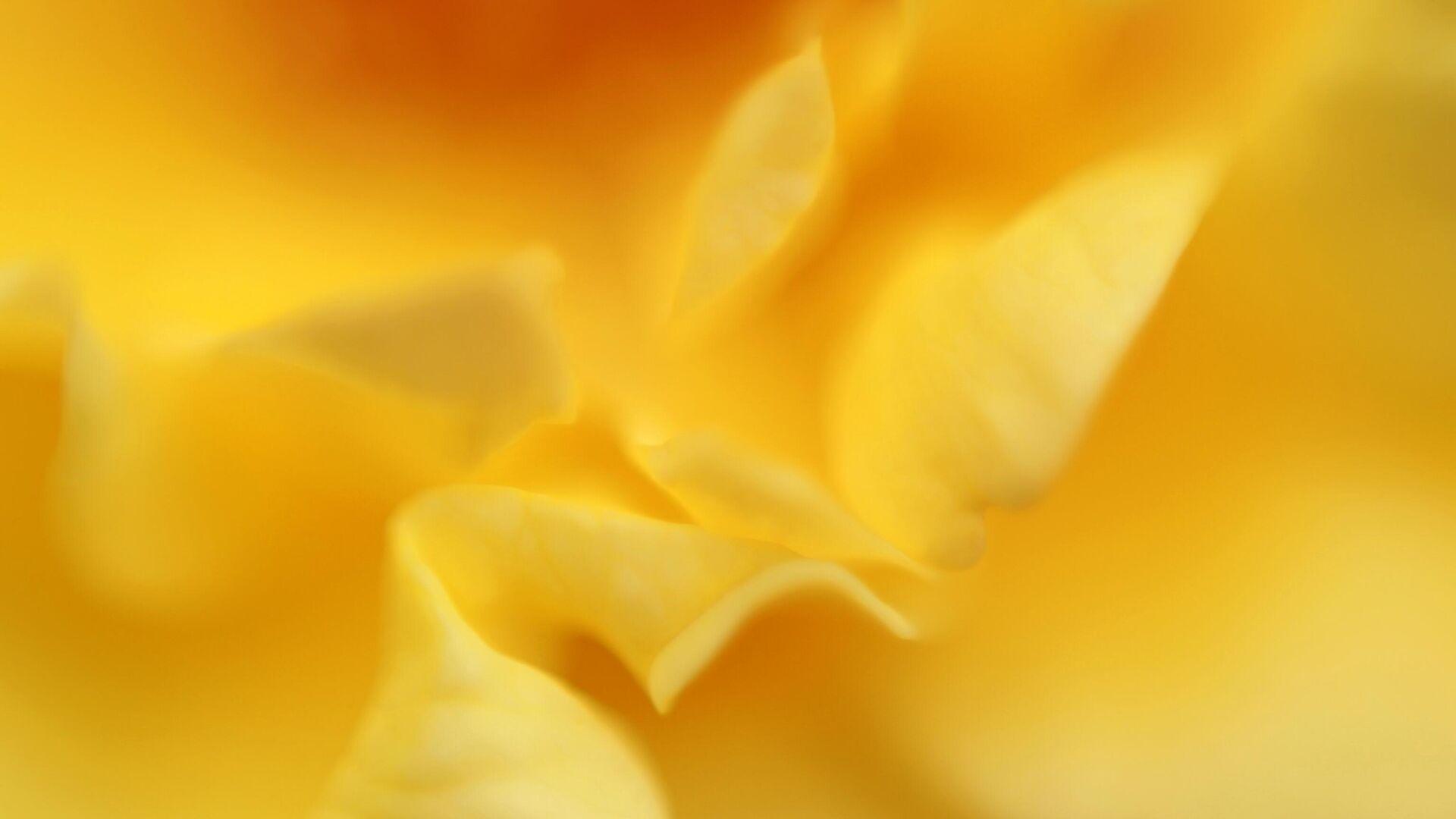 Роза сорта Голштерн на выставке роз в Ботаническом саду МГУ Аптекарский огород - РИА Новости, 1920, 10.12.2020