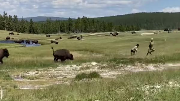 В американском парке на видео попала погоня бизона за туристами