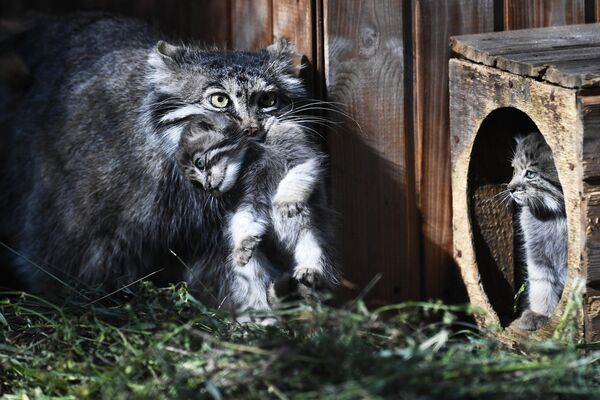 Самка манула с детенышами в Новосибирском зоопарке