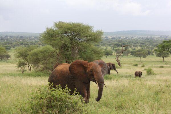 Слоны в национальном парке Тарангире в Танзании