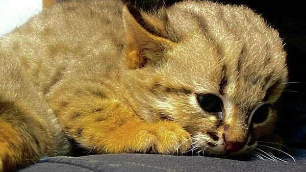 В Новосибирском зоопарке у ржаво-рыжих кошек впервые родились котята
