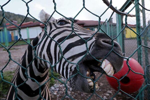 Самец зебры по кличке Хвостик в парке флоры и фауны Роев ручей в Красноярске