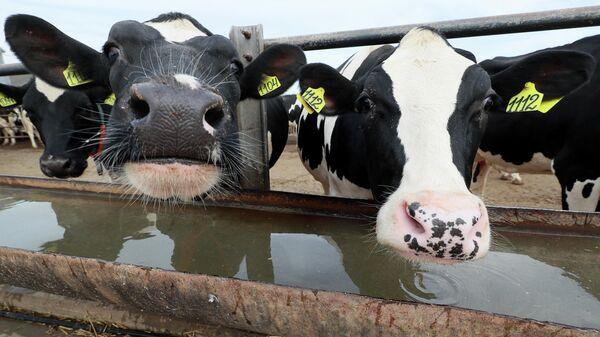 Коровы у поилки