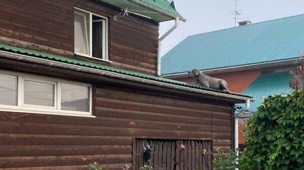 Собака породы алабай на крыше пристройки к жилому дому в деревне Терехово в Новой Москве
