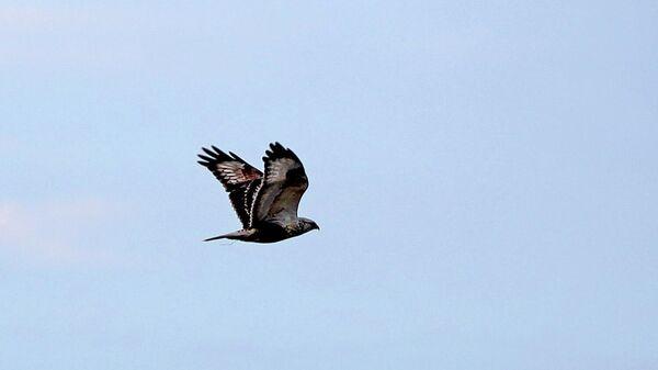 Летящий сокол Сапсан