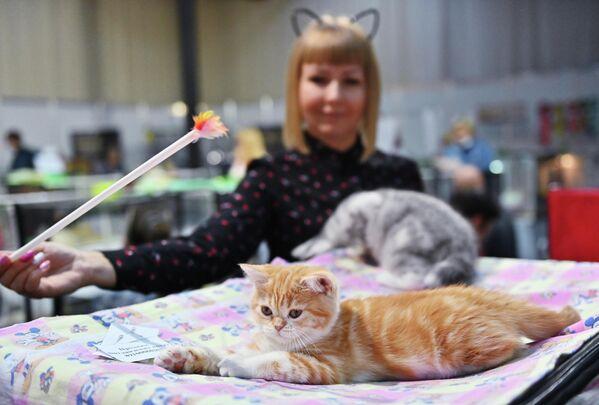 Кошка британской породы на выставке КоШарики Шоу в Сокольниках