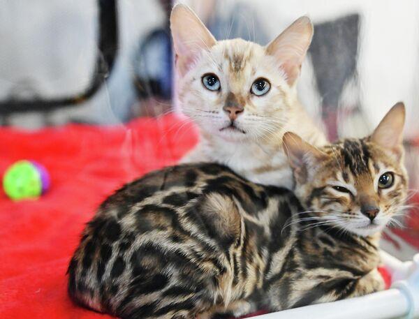 Кошки бенгальской породы на выставке КоШарики Шоу в Сокольниках