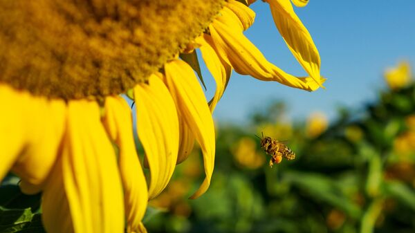 Пчела около цветка подсолнечника