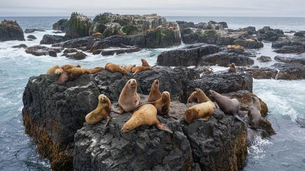 Морские львы - сивучи на Камнях Владимира