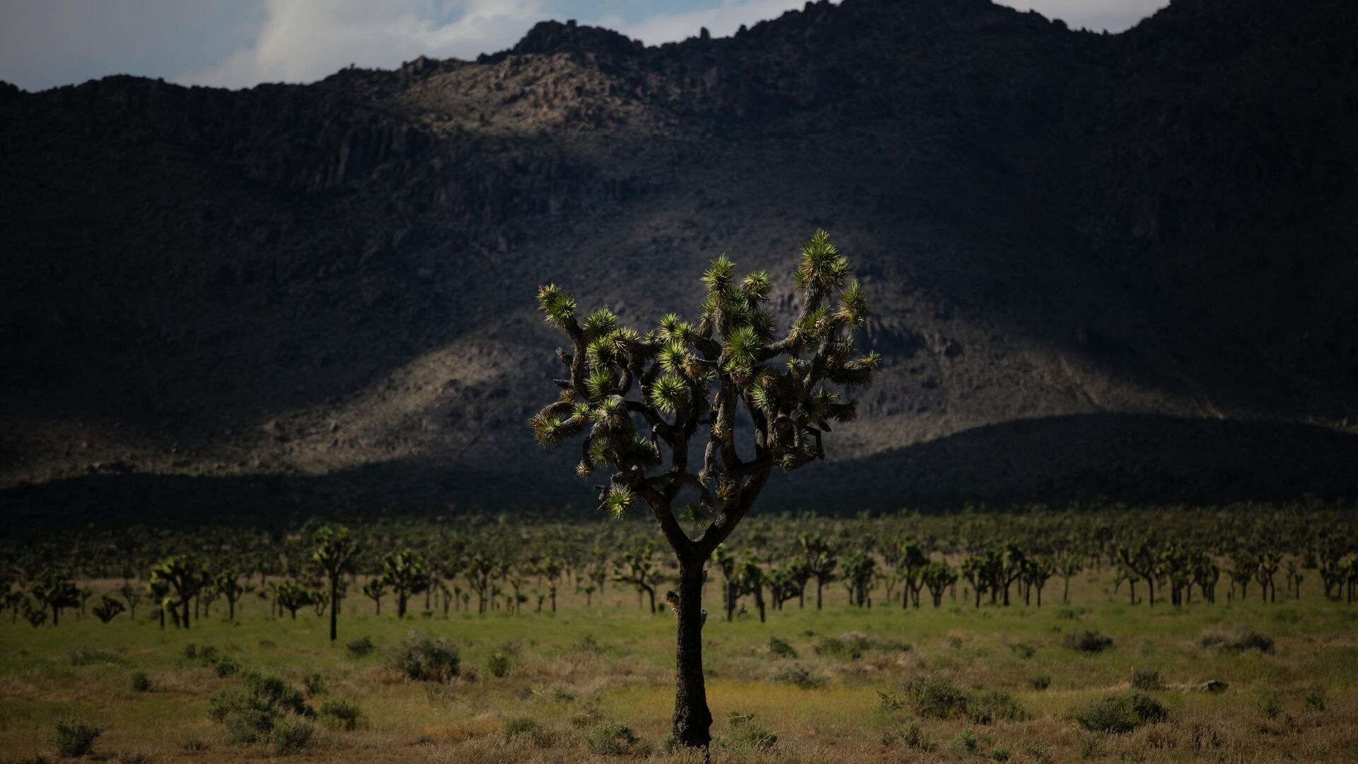 1578114420 0:237:3072:1965 1920x0 80 0 0 5389315b5c070f4d068619ce79ee7d98 - В Калифорнии могут исчезнуть знаменитые деревья Джошуа