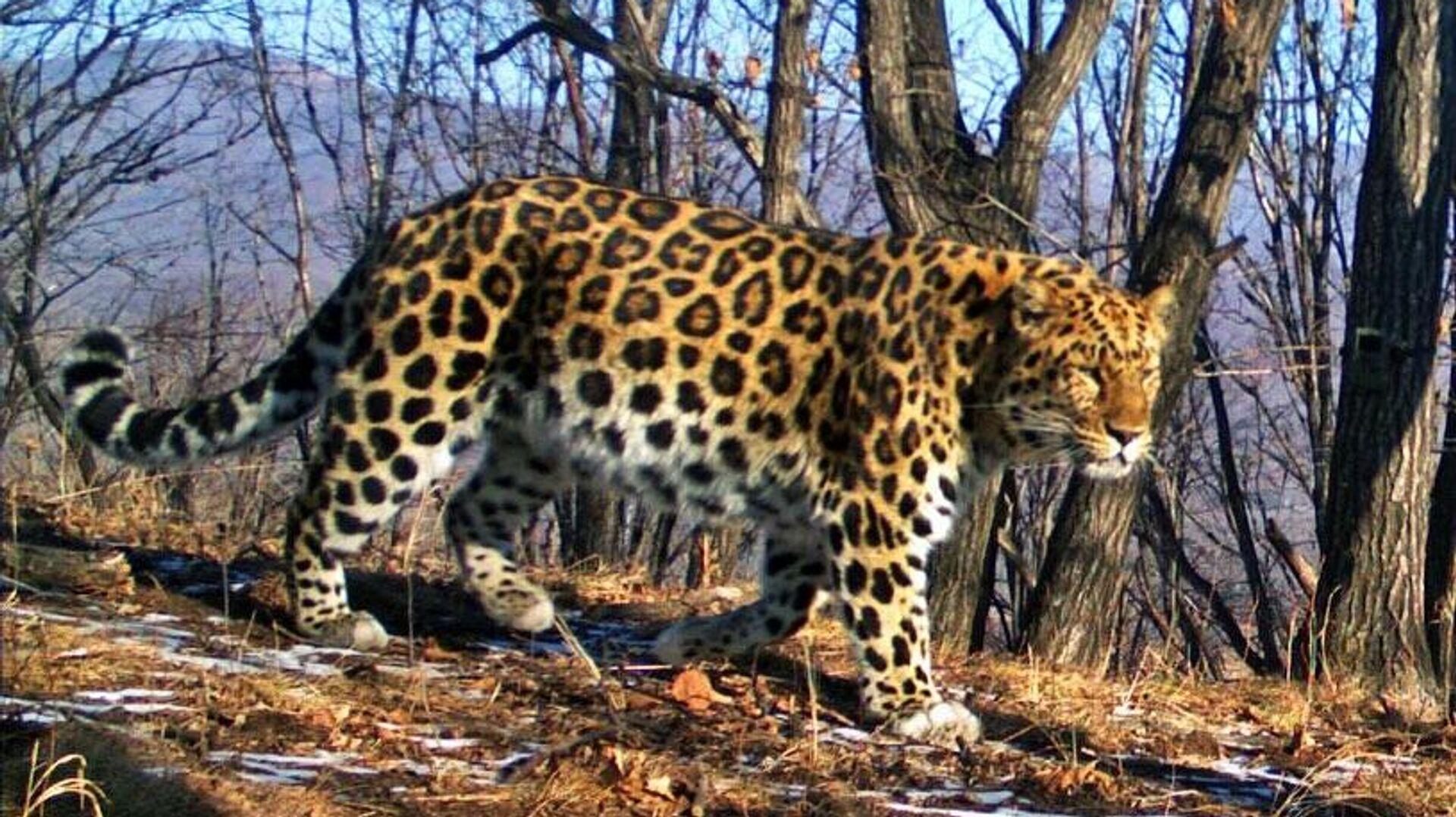 Один из старейших дальневосточных леопардов на территории национального парка Земля леопарда в Приморском крае - РИА Новости, 1920, 11.10.2020