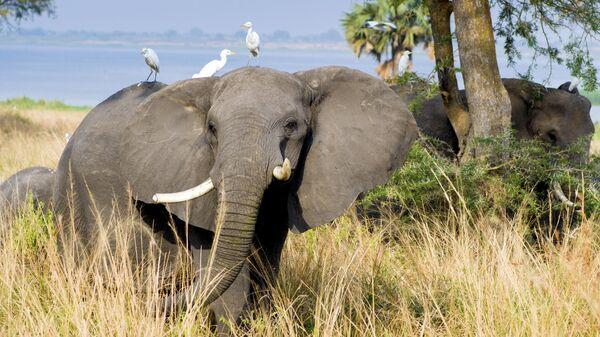 Слоны в Национальном парке Мурчисон-Фоллс в Уганде
