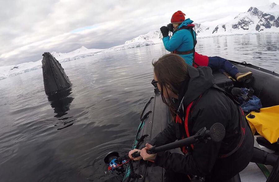 Установка меток на горбатых китов в заливе Вильгельмина, Антарктида