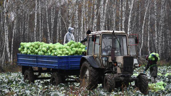 Уборка овощей в Новосибирской области