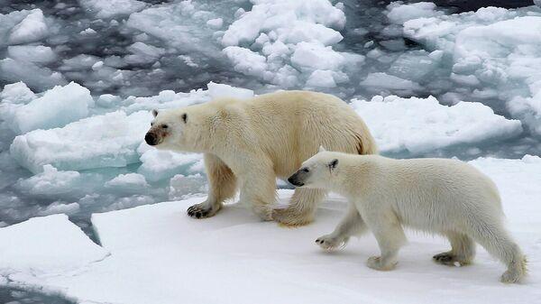 Белые медведи на льдине в Северном ледовитом океане