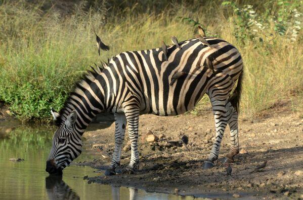 Зебра в национальном парке Крюгера в ЮАР