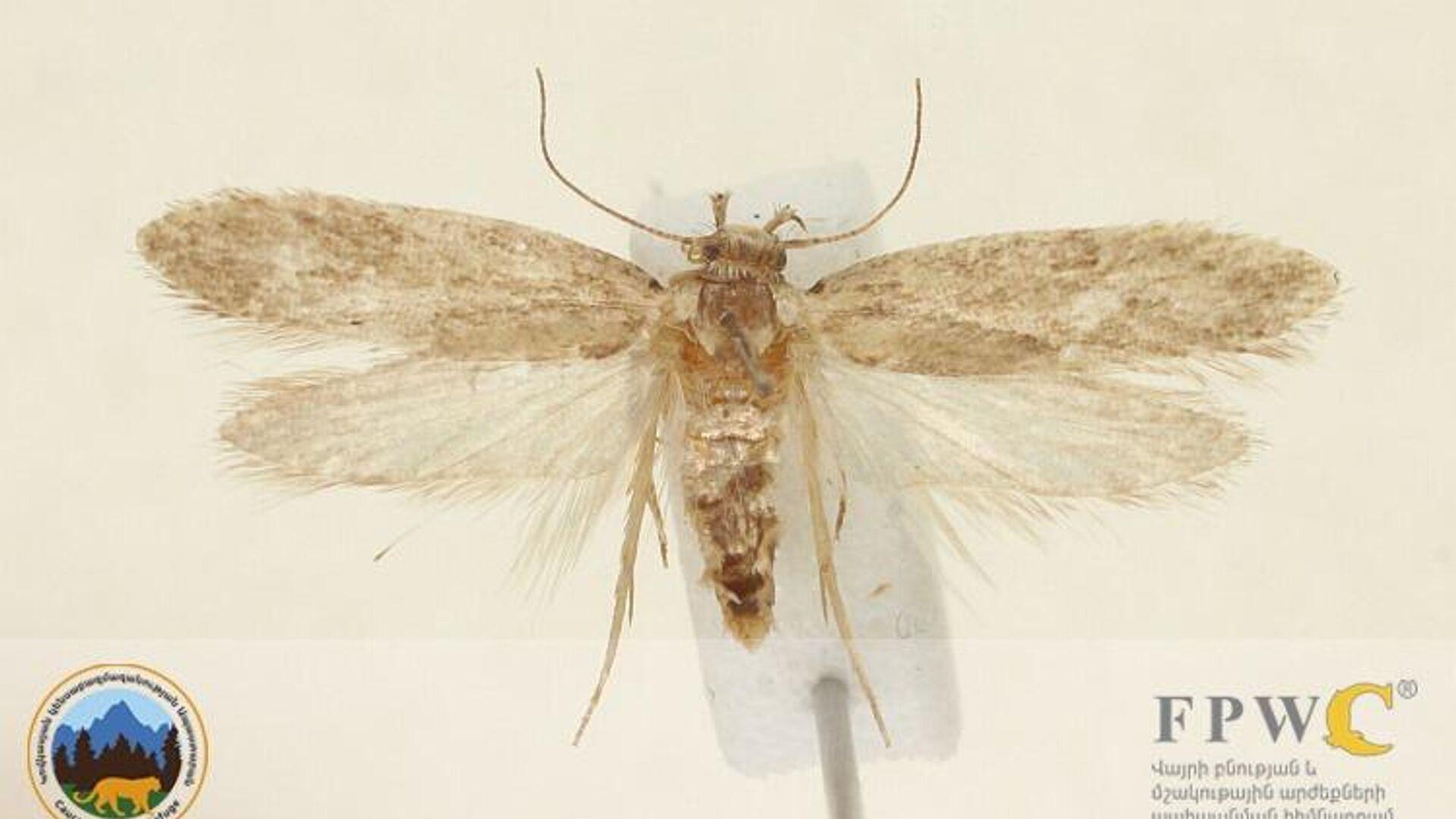 Новый вид чешуекрылых насекомых, обнаруженный в Армении - РИА Новости, 1920, 30.11.2020