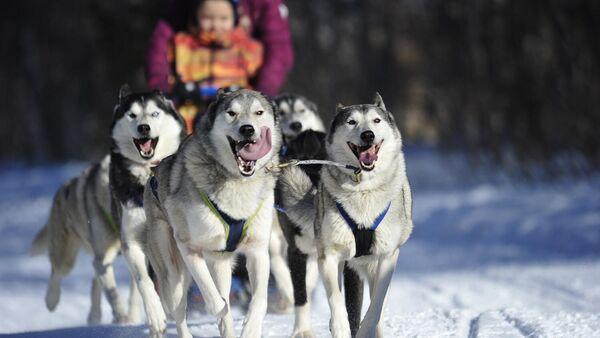 Собаки в упряжке в ходе экскурсионной эколого-туристической прогулки Хаски в Лагонаках
