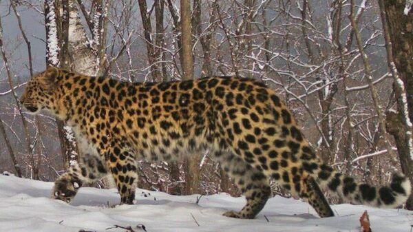 Дальневосточный леопард Leo 148F