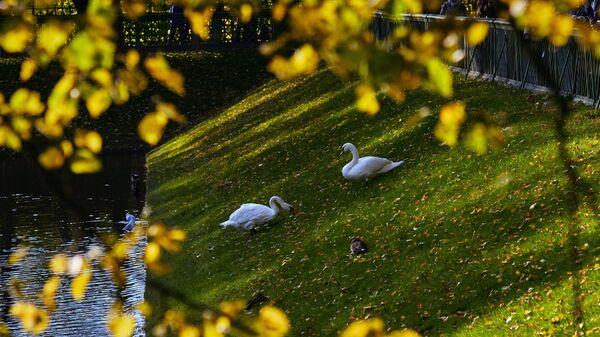 Лебеди в Летнем саду в Санкт-Петербурге.