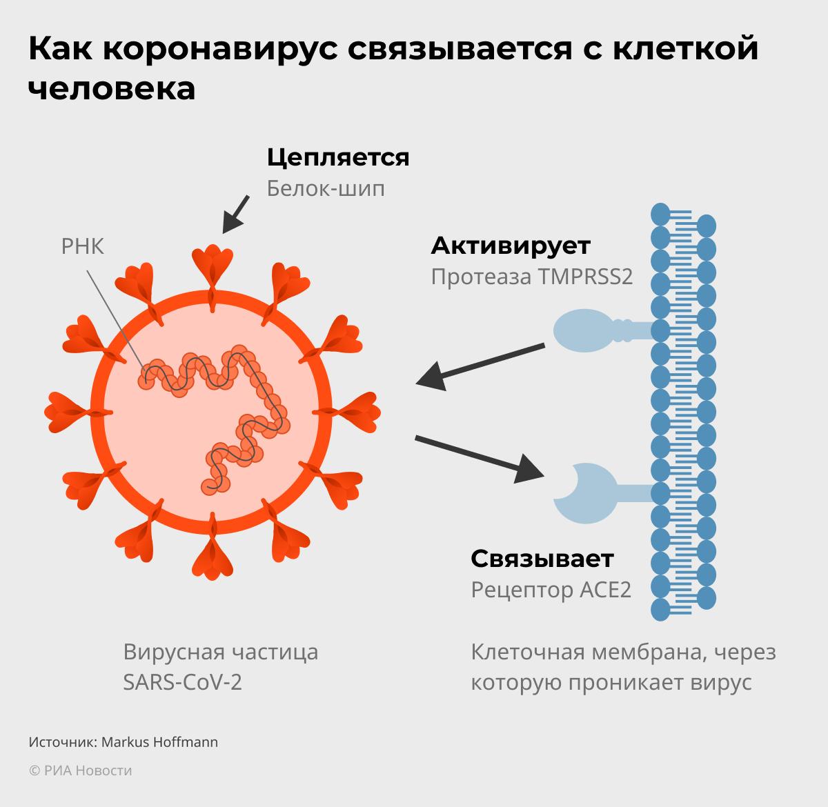 Как коронавирус связывается с клеткой человека - РИА Новости, 1920, 22.01.2021