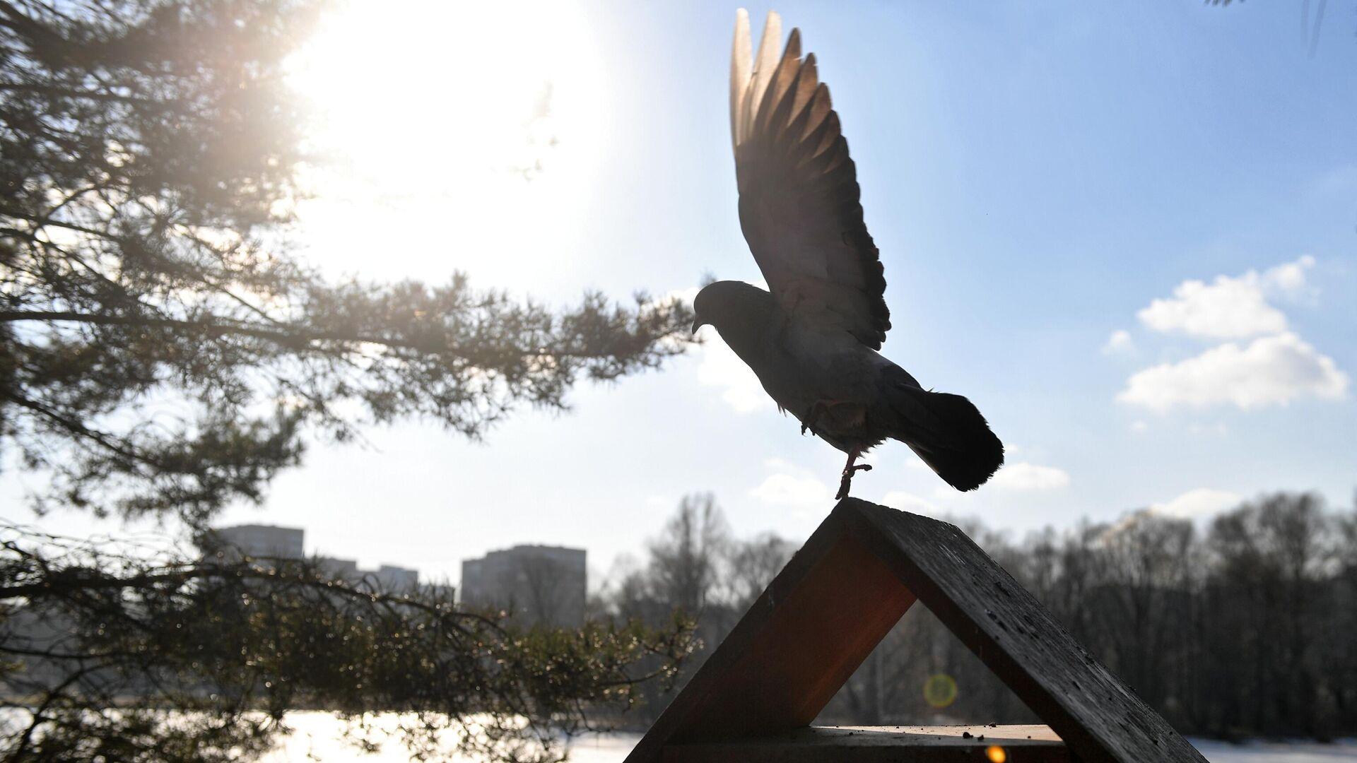 Голубь на кормушке для птиц в парке Дружбы в Москве - РИА Новости, 1920, 19.01.2021