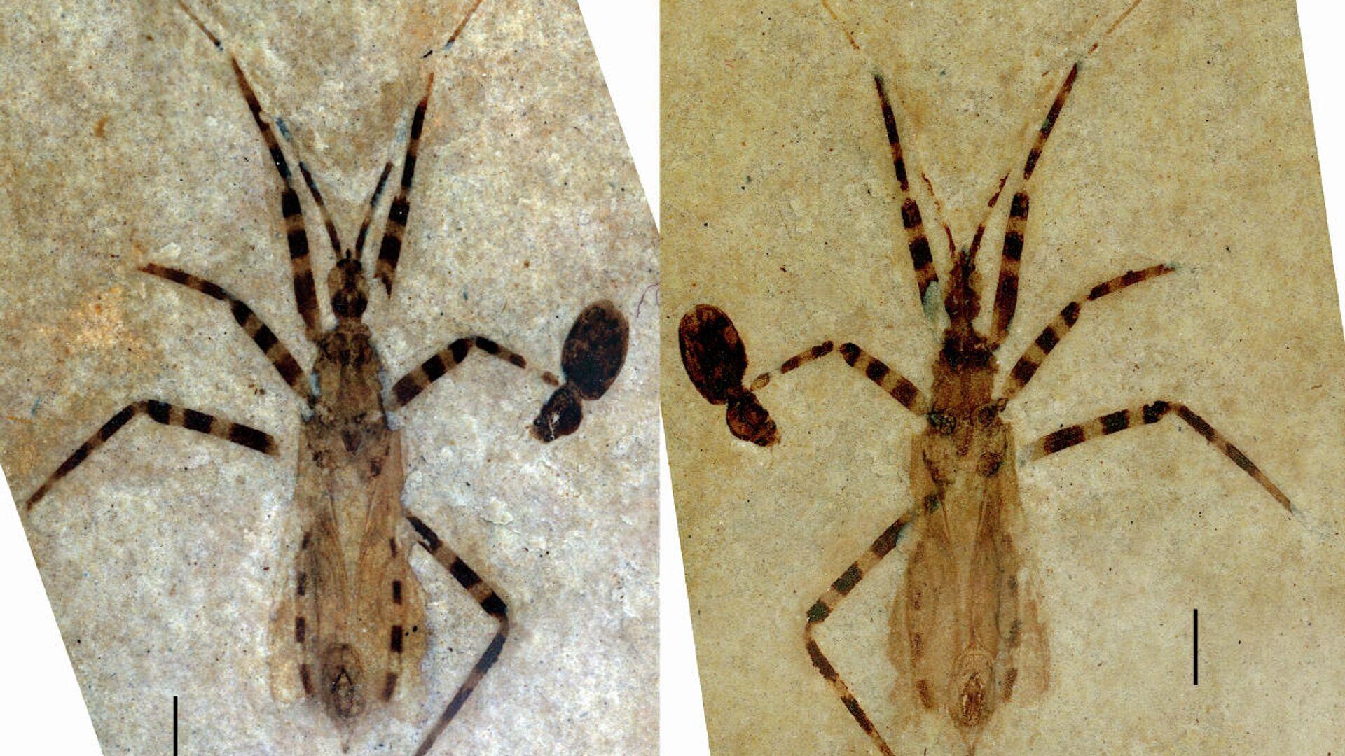 Жук-убийца Aphelicophontes danjuddi из формации Грин-Ривер в Колорадо - РИА Новости, 1920, 19.01.2021