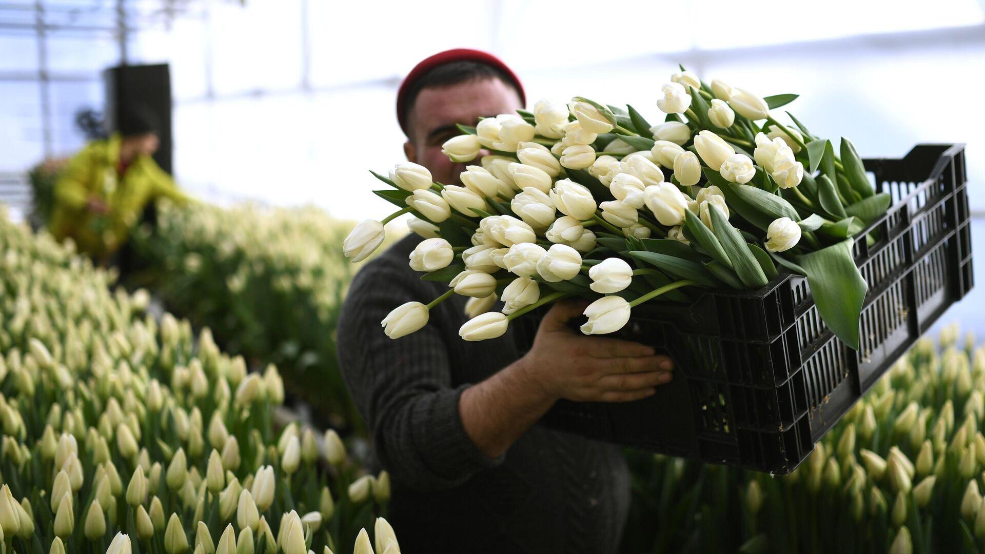 Сбор тюльпанов в преддверии праздника 8 Марта в тепличном хозяйстве фермера Александра Бурмантова в Новосибирске - РИА Новости, 1920, 02.03.2021