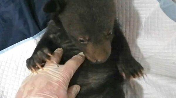 Новорожденного медвежонка-сироту выхаживают в Приморье