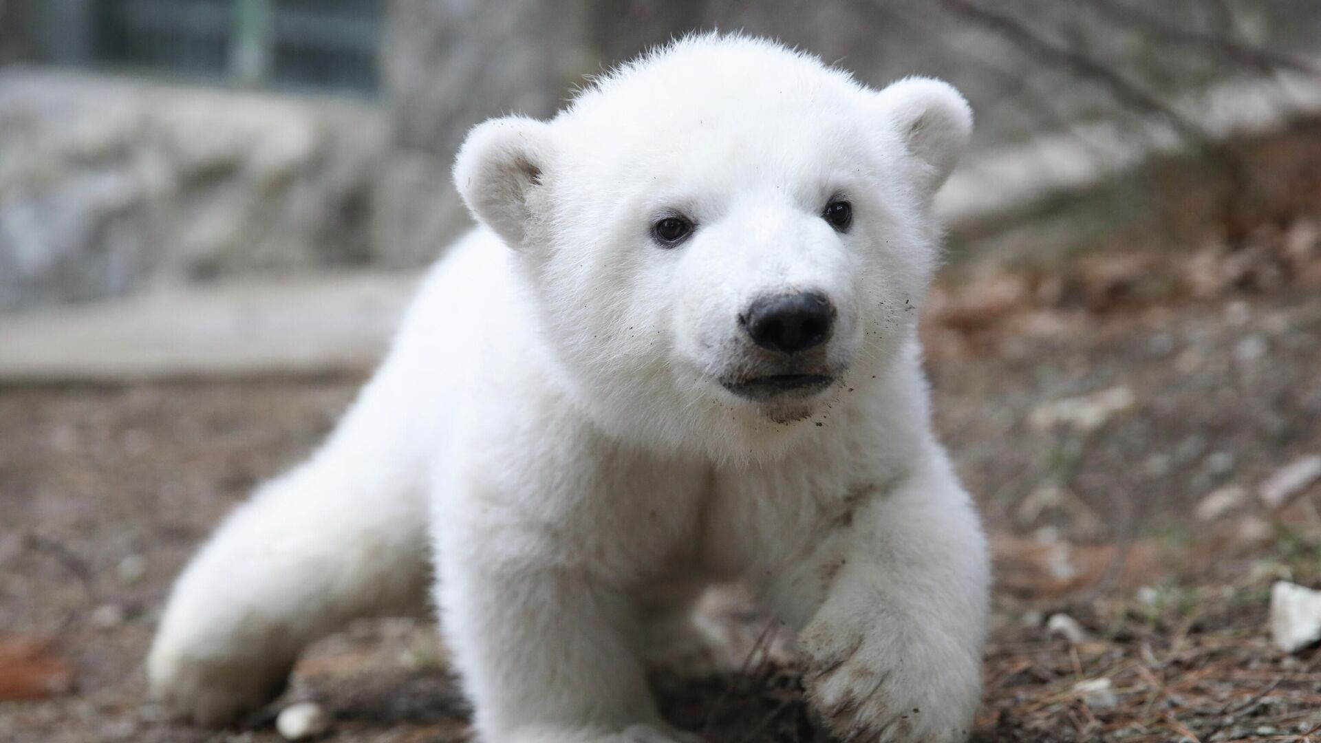 Детеныш белого медведя на прогулке в сафари-парке Геленджика - РИА Новости, 1920, 23.04.2021