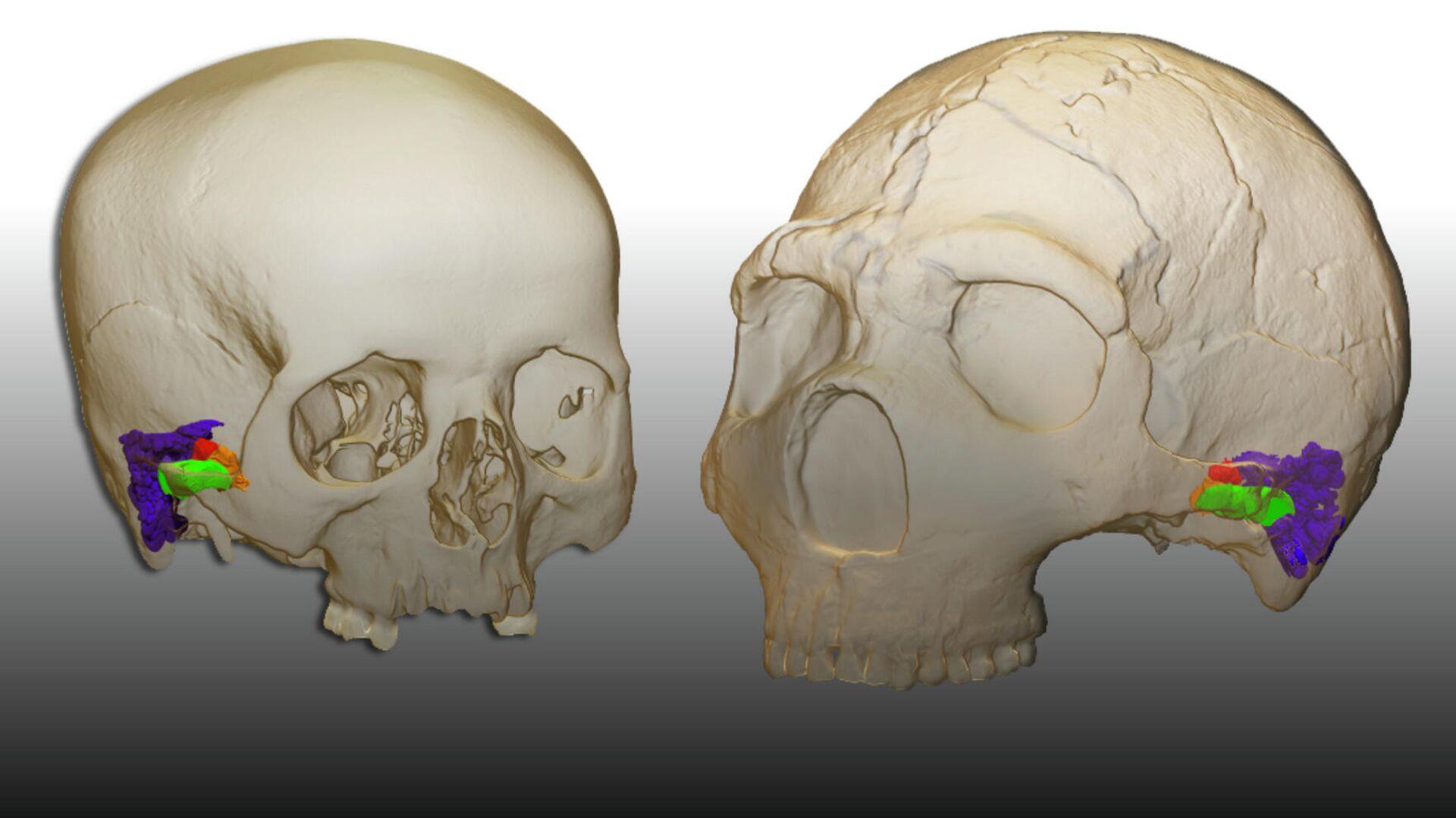 3D-реконструкция внутреннего уха современного человека и неандертальца - РИА Новости, 1920, 01.03.2021