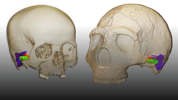 3D-реконструкция внутреннего уха современного человека и неандертальца