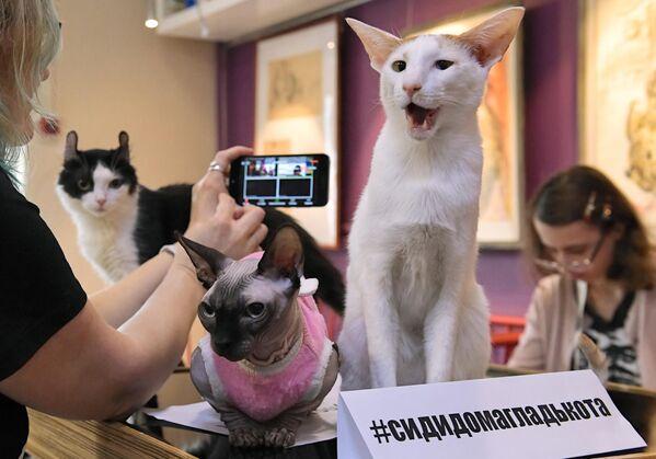 Кошки во время онлайн-конференции Котики против коронавируса в котокафе Республика кошек в Санкт-Петербурге