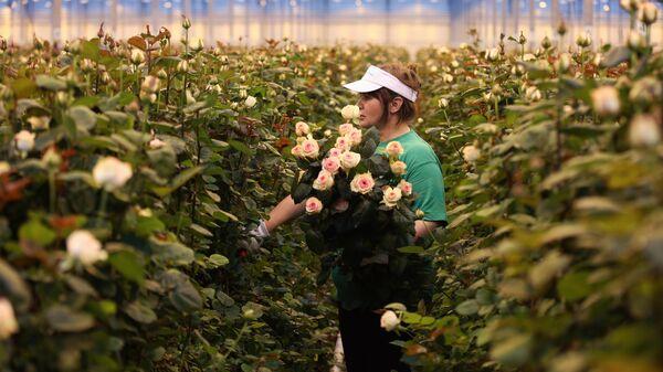 Выращивание роз в тепличном комплексе Зелёный Дом в поселке Супс Тахтамукайского района Республики Адыгея. Специалистами Зелёного Дома выращиваются порядка 50-ти сортов роз в закрытом грунте
