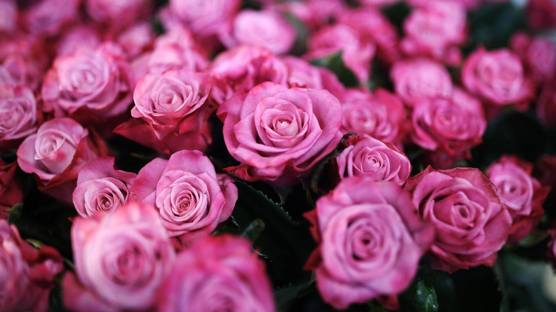Розы, выращенные в тепличном комплексе Зелёный Дом - РИА Новости, 1920, 04.03.2021